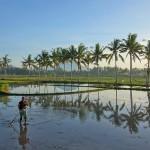 バリ島ウブド近郊2015年12月29日(火)の朝陽【動画あり。椰子並木の向こうへ行って来ました】