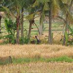 バリ島ウブド近郊2016年12月24日(土)朝の風景